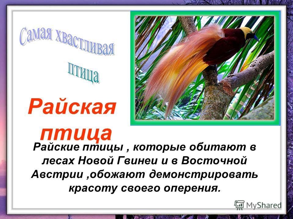 Райские птицы, которые обитают в лесах Новой Гвинеи и в Восточной Австрии,обожают демонстрировать красоту своего оперения. Райская птица