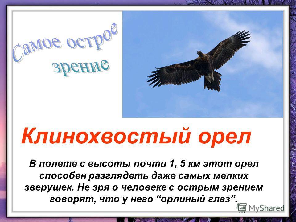В полете с высоты почти 1, 5 км этот орел способен разглядеть даже самых мелких зверушек. Не зря о человеке с острым зрением говорят, что у него орлиный глаз. Клинохвостый орел