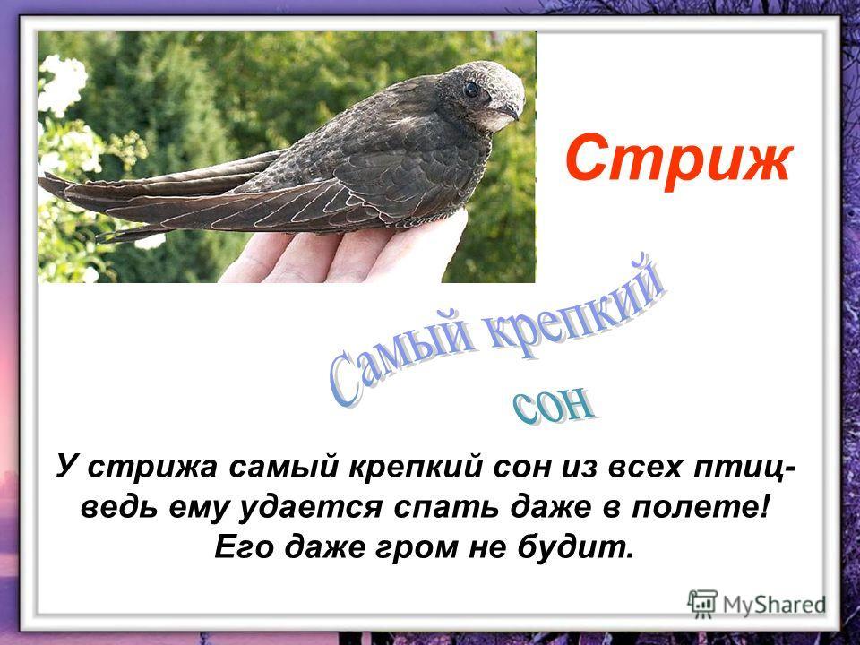 У стрижа самый крепкий сон из всех птиц- ведь ему удается спать даже в полете! Его даже гром не будит. Стриж