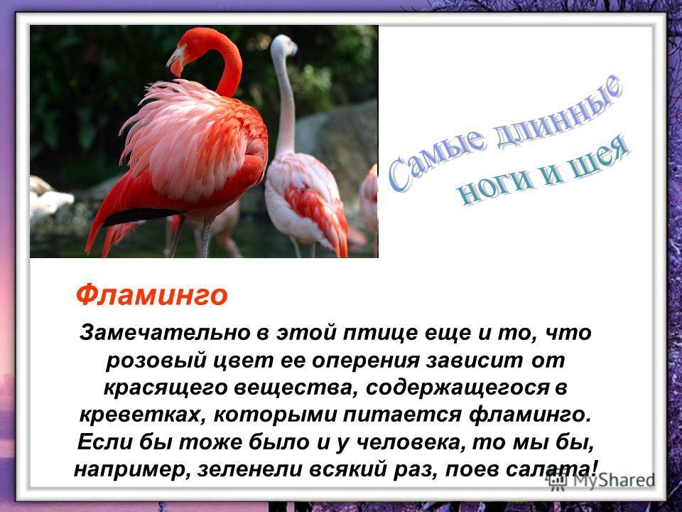 Замечательно в этой птице еще и то, что розовый цвет ее оперения зависит от красящего вещества, содержащегося в креветках, которыми питается фламинго. Если бы тоже было и у человека, то мы бы, например, зеленели всякий раз, поев салата! Фламинго