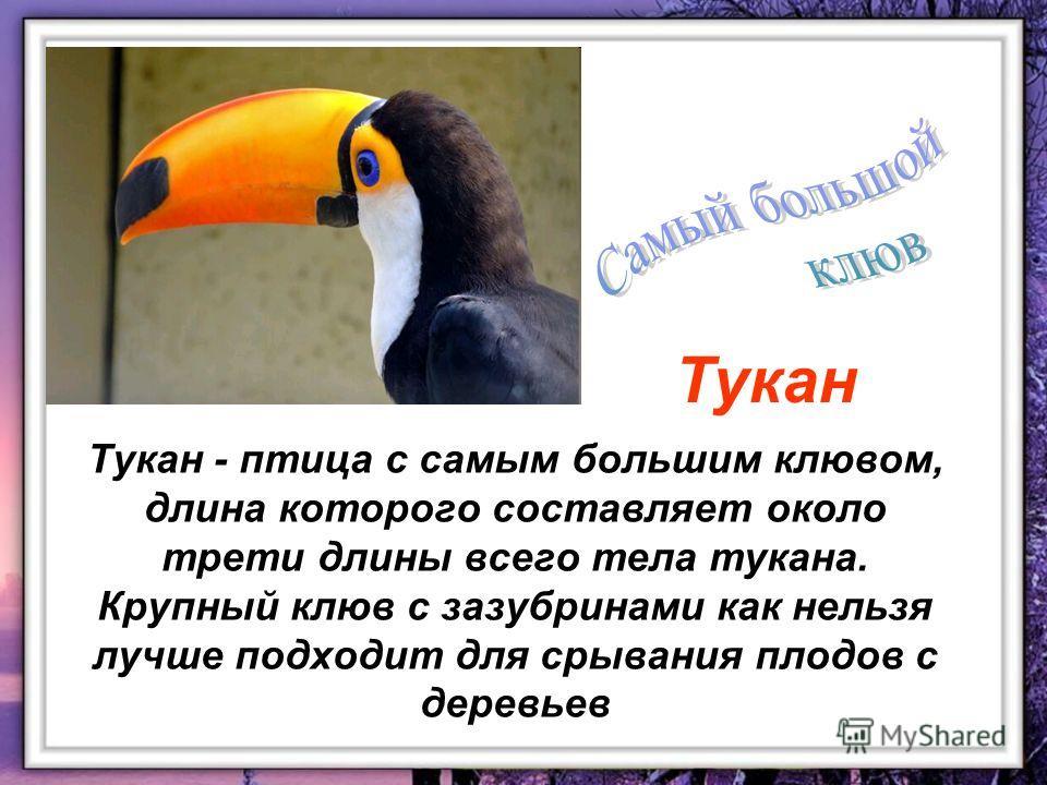 Тукан - птица с самым большим клювом, длина которого составляет около трети длины всего тела тукана. Крупный клюв с зазубринами как нельзя лучше подходит для срывания плодов с деревьев Тукан