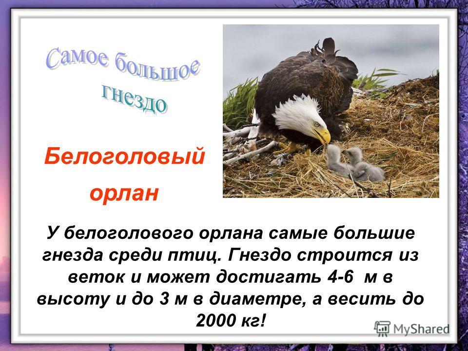 У белоголового орлана самые большие гнезда среди птиц. Гнездо строится из веток и может достигать 4-6 м в высоту и до 3 м в диаметре, а весить до 2000 кг! Белоголовый орлан