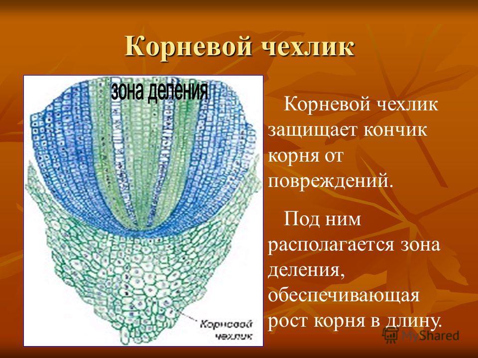 Корневой чехлик Корневой чехлик защищает кончик корня от повреждений. Под ним располагается зона деления, обеспечивающая рост корня в длину.