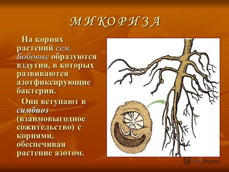 М И КО Р И З А На корнях растений сем. Бобовые образуются вздутия, в которых развиваются азотфиксирующие бактерии. На корнях растений сем. Бобовые образуются вздутия, в которых развиваются азотфиксирующие бактерии. Они вступают в симбиоз (взаимовыгод