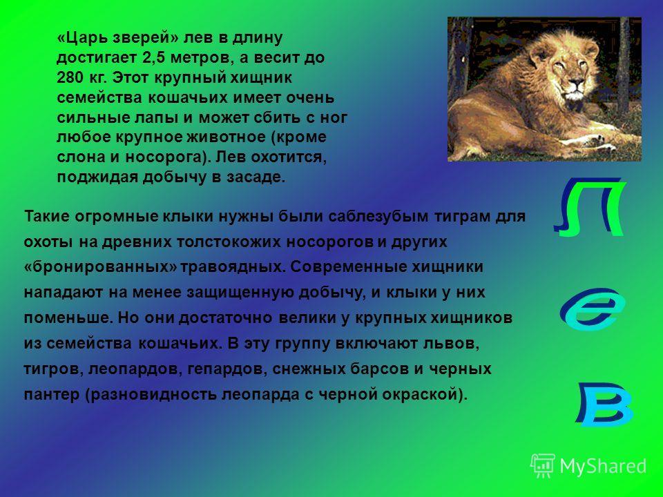 «Царь зверей» лев в длину достигает 2,5 метров, а весит до 280 кг. Этот крупный хищник семейства кошачьих имеет очень сильные лапы и может сбить с ног любое крупное животное (кроме слона и носорога). Лев охотится, поджидая добычу в засаде. Такие огро
