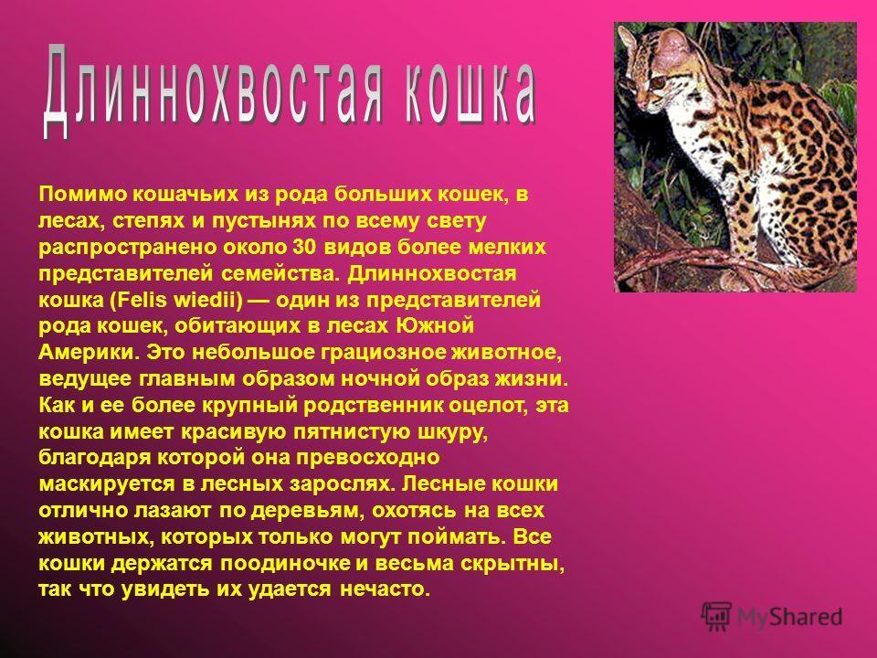 Помимо кошачьих из рода больших кошек, в лесаx, степях и пустынях по всему свету распространено около 30 видов более мелких представителей семейства. Длиннохвостая кошка (Felis wiedii) один из представителей рода кошек, обитающих в лесах Южной Америк