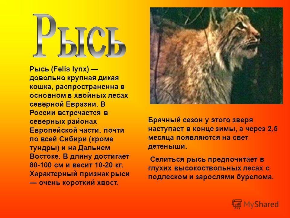 Рысь (Felis lynx) довольно крупная дикая кошка, распространенна в основном в хвойных лесах северной Евразии. В России встречается в северных районах Европейской части, почти по всей Сибири (кроме тундры) и на Дальнем Востоке. В длину достигает 80-100