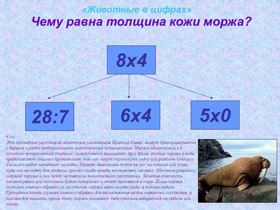 «Животные в цифрах» Чему равна толщина кожи моржа? 28:7 8х4 6х45х0 4 см. Эти громадные неуклюжие животные, населяющие Крайний Север, живут преимущественно у берегов и редко предпринимают значительные путешествия. Моржи общительны и в основном встреча