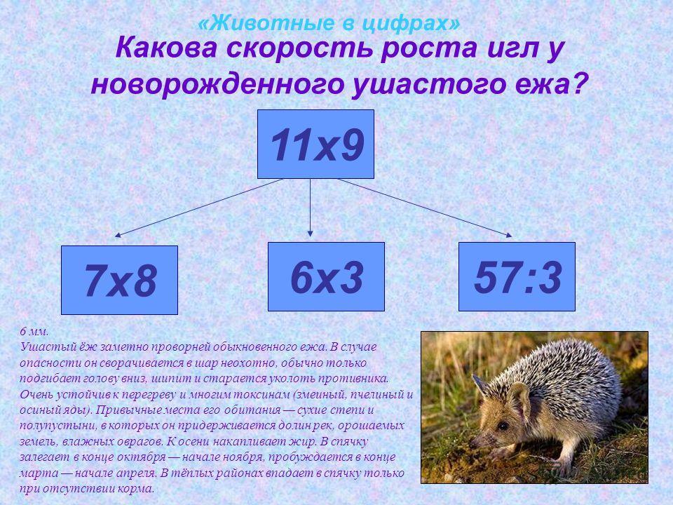 «Животные в цифрах» Какова скорость роста игл у новорожденного ушастого ежа? 7х8 11х9 6х357:3 6 мм. Ушастый ёж заметно проворней обыкновенного ежа. В случае опасности он сворачивается в шар неохотно, обычно только подгибает голову вниз, шипит и стара