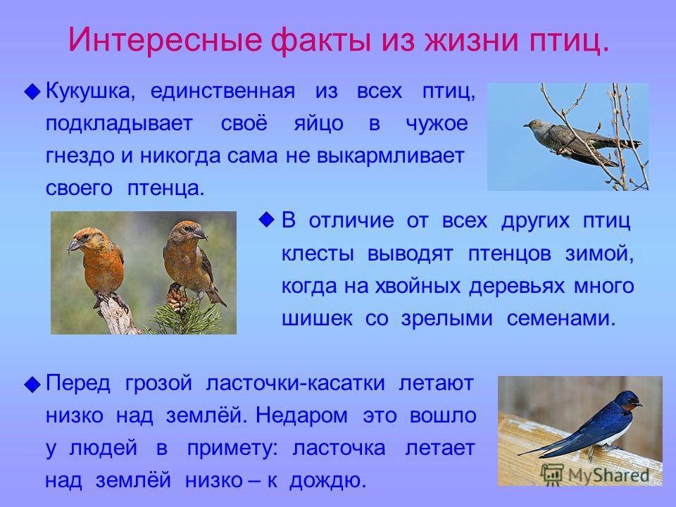 Интересные факты из жизни птиц. Кукушка, единственная из всех птиц, подкладывает своё яйцо в чужое гнездо и никогда сама не выкармливает своего птенца. В отличие от всех других птиц клесты выводят птенцов зимой, когда на хвойных деревьях много шишек