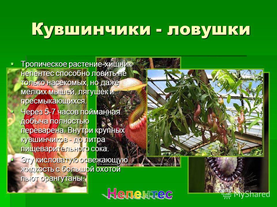 Кувшинчики - ловушки Тропическое растение-хищник непентес способно ловить не только насекомых, но даже мелких мышей, лягушек и пресмыкающихся. Тропическое растение-хищник непентес способно ловить не только насекомых, но даже мелких мышей, лягушек и п