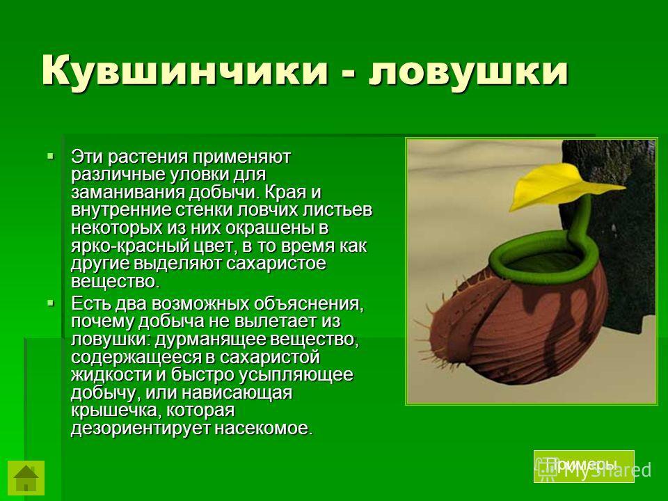 Кувшинчики - ловушки Эти растения применяют различные уловки для заманивания добычи. Края и внутренние стенки ловчих листьев некоторых из них окрашены в ярко-красный цвет, в то время как другие выделяют сахаристое вещество. Эти растения применяют раз