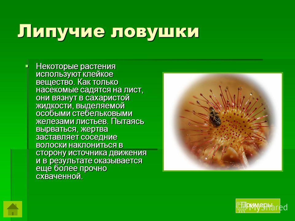 Липучие ловушки Некоторые растения используют клейкое вещество. Как только насекомые садятся на лист, они вязнут в сахаристой жидкости, выделяемой особыми стебельковыми железами листьев. Пытаясь вырваться, жертва заставляет соседние волоски наклонить