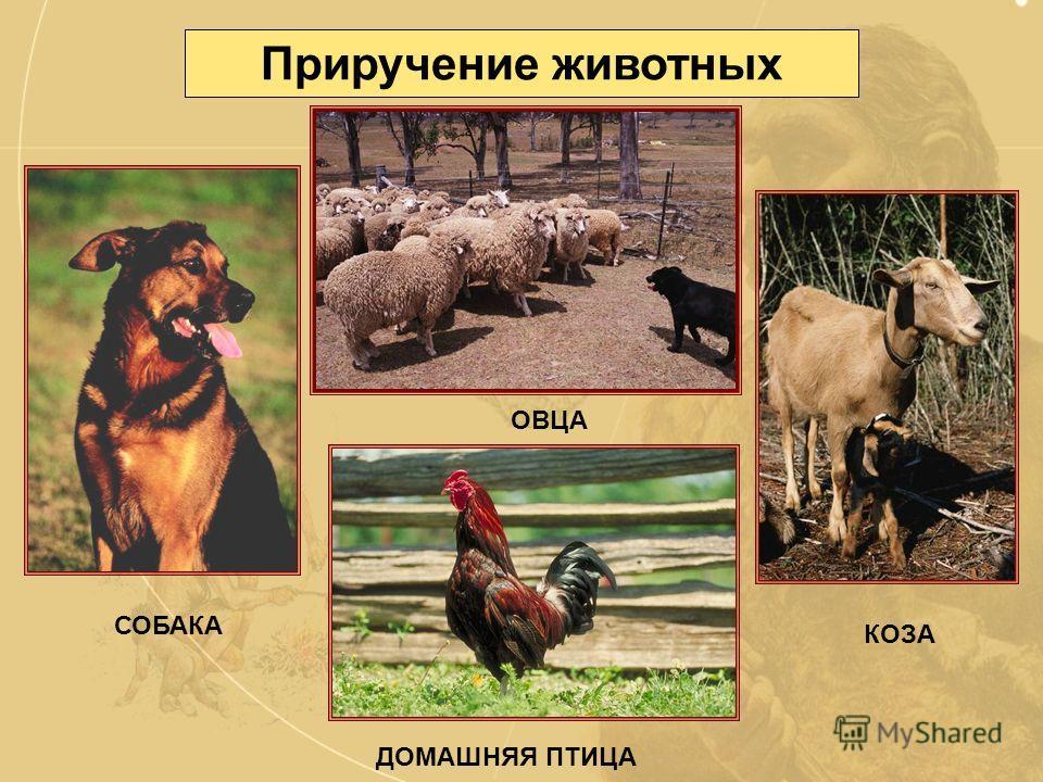 Приручение животных Скотоводство Скотоводство возникло из древнейшего занятия людей охоты