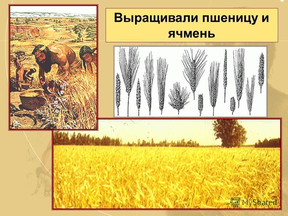 Урожай собирали при помощи серпа, изготавливавшегося из кости. В серп вставляли каменные лезвия. Земледелие возникло более 10 тысяч лет назад в Западной Азии