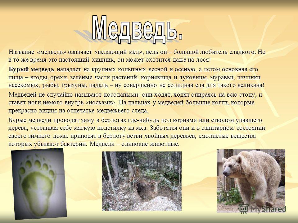 Название «медведь» означает «ведающий мёд», ведь он – большой любитель сладкого. Но в то же время это настоящий хищник, он может охотится даже на лося! Название «медведь» означает «ведающий мёд», ведь он – большой любитель сладкого. Но в то же время