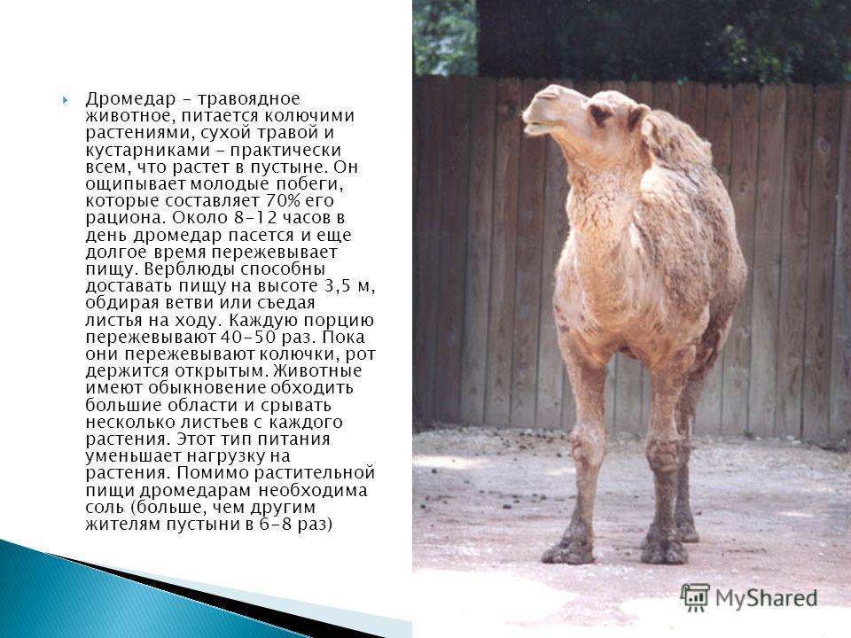 Дромедар - травоядное животное, питается колючими растениями, сухой травой и кустарниками - практически всем, что растет в пустыне. Он ощипывает молодые побеги, которые составляет 70% его рациона. Около 8-12 часов в день дромедар пасется и еще долгое