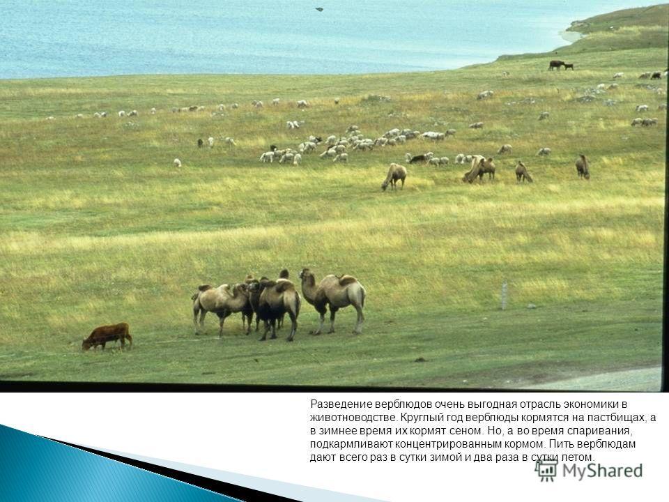 Разведение верблюдов очень выгодная отрасль экономики в животноводстве. Круглый год верблюды кормятся на пастбищах, а в зимнее время их кормят сеном. Но, а во время спаривания, подкармливают концентрированным кормом. Пить верблюдам дают всего раз в с