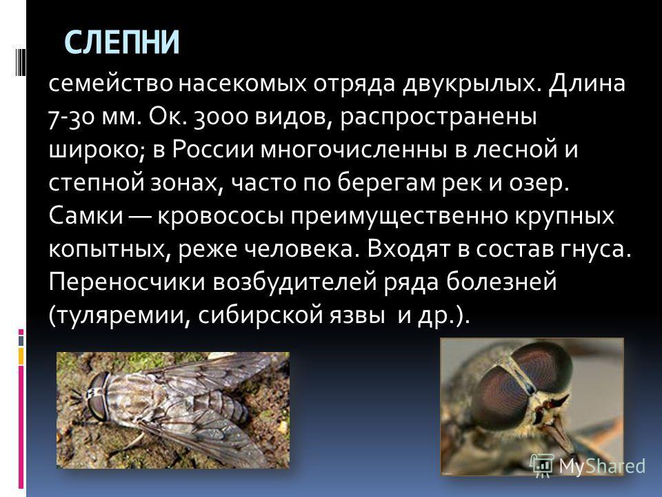 СЛЕПНИ семейство насекомых отряда двукрылых. Длина 7-30 мм. Ок. 3000 видов, распространены широко; в России многочисленны в лесной и степной зонах, часто по берегам рек и озер. Самки кровососы преимущественно крупных копытных, реже человека. Входят в