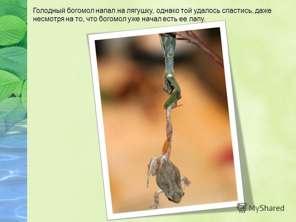 Голодный богомол напал на лягушку, однако той удалось спастись, даже несмотря на то, что богомол уже начал есть ее лапу.