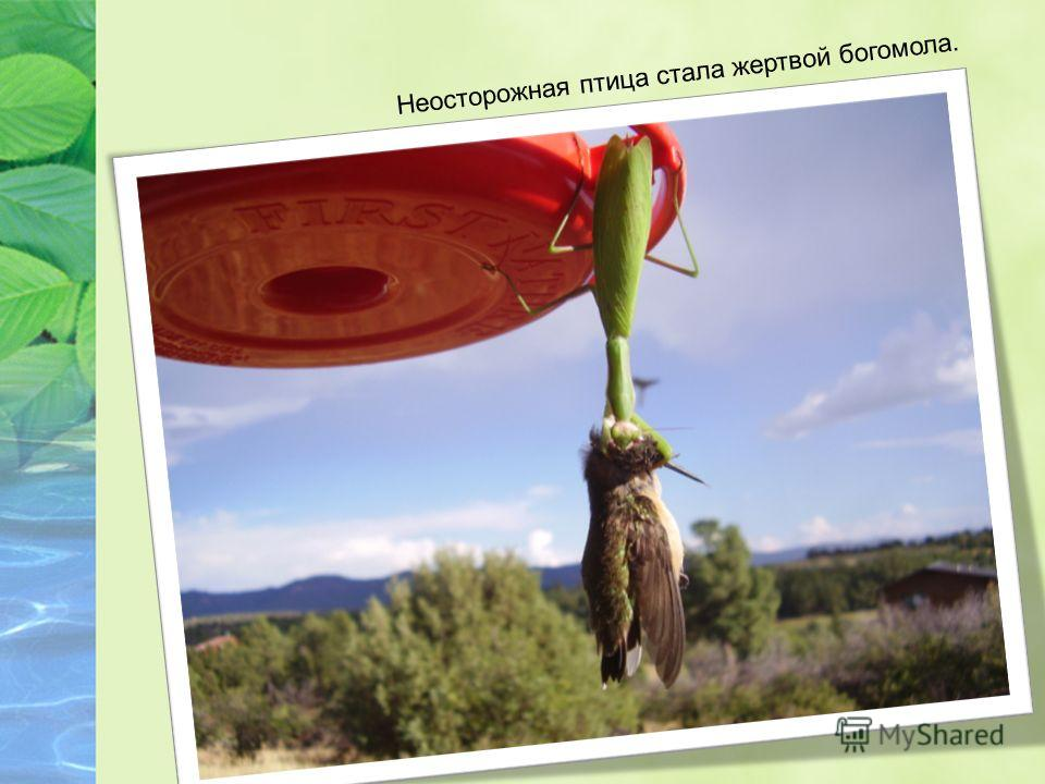 Неосторожная птица стала жертвой богомола.