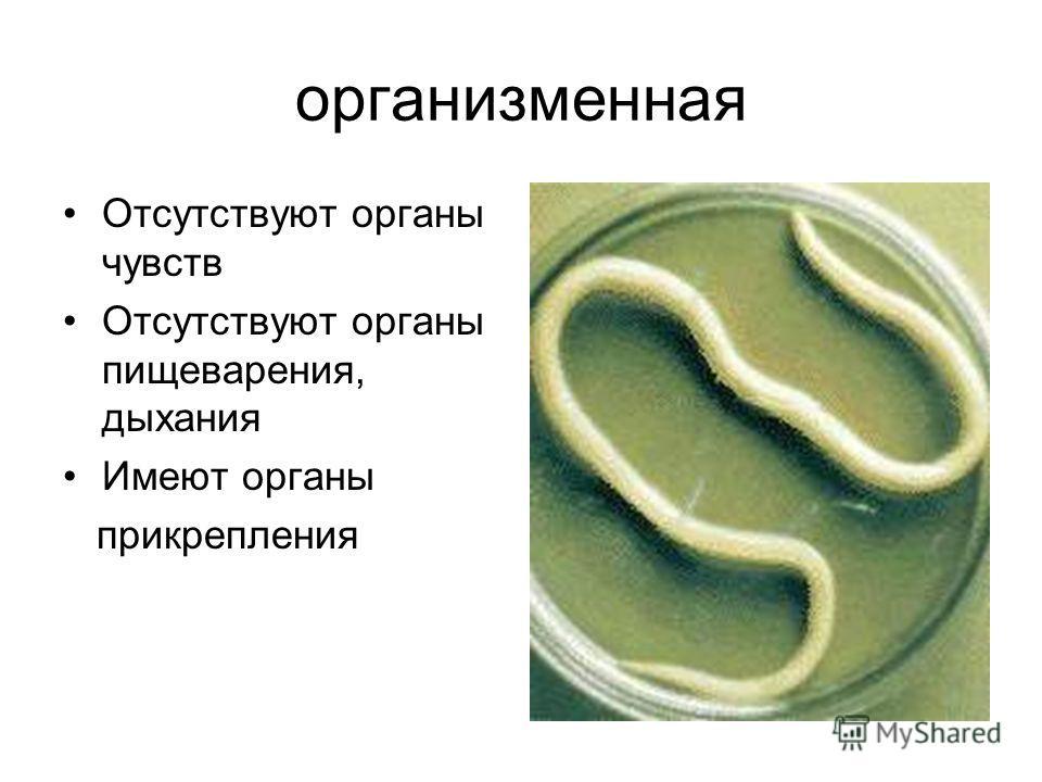 организменная Отсутствуют органы чувств Отсутствуют органы пищеварения, дыхания Имеют органы прикрепления