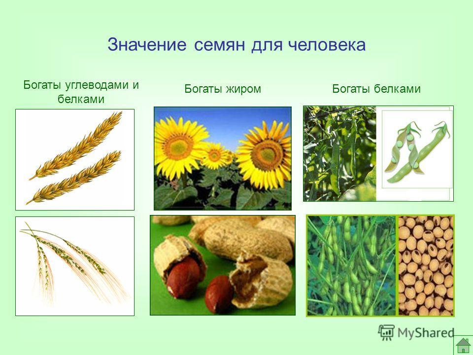 Значение семян для человека Богаты жиромБогаты белками Богаты углеводами и белками