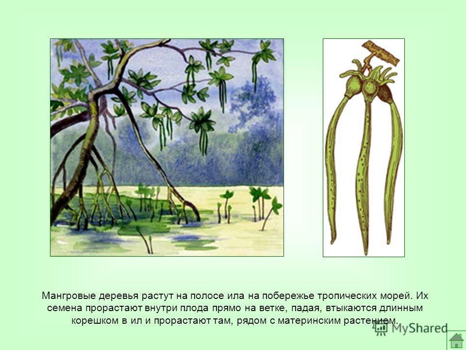Мангровые деревья растут на полосе ила на побережье тропических морей. Их семена прорастают внутри плода прямо на ветке, падая, втыкаются длинным корешком в ил и прорастают там, рядом с материнским растением.