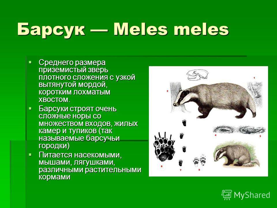 Барсук Meles meles Среднего размера приземистый зверь плотного сложения с узкой вытянутой мордой, коротким лохматым хвостом. Среднего размера приземистый зверь плотного сложения с узкой вытянутой мордой, коротким лохматым хвостом. Барсуки строят очен