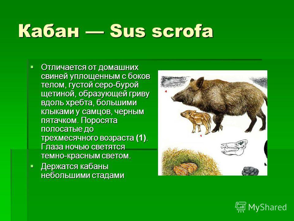 Кабан Sus scrofa Отличается от домашних свиней уплощенным с боков телом, густой серо-бурой щетиной, образующей гриву вдоль хребта, большими клыками у самцов, черным пятачком. Поросята полосатые до трехмесячного возраста (1). Глаза ночью светятся темн