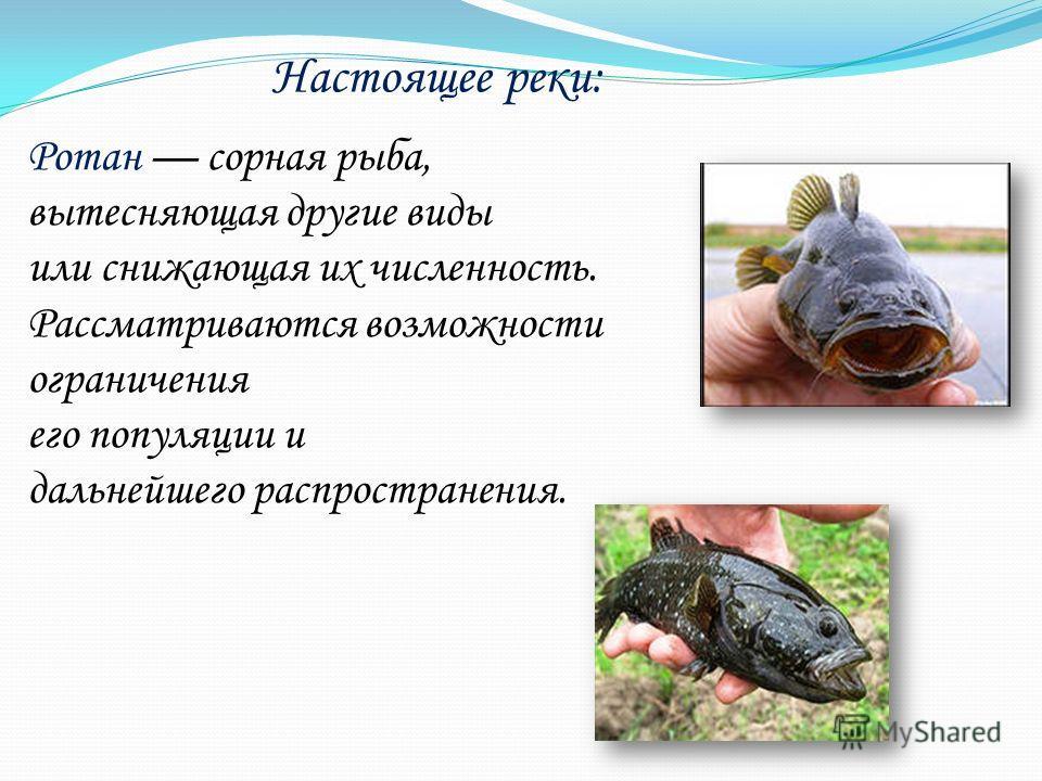 Настоящее реки: Ротан сорная рыба, вытесняющая другие виды или снижающая их численность. Рассматриваются возможности ограничения его популяции и дальнейшего распространения.