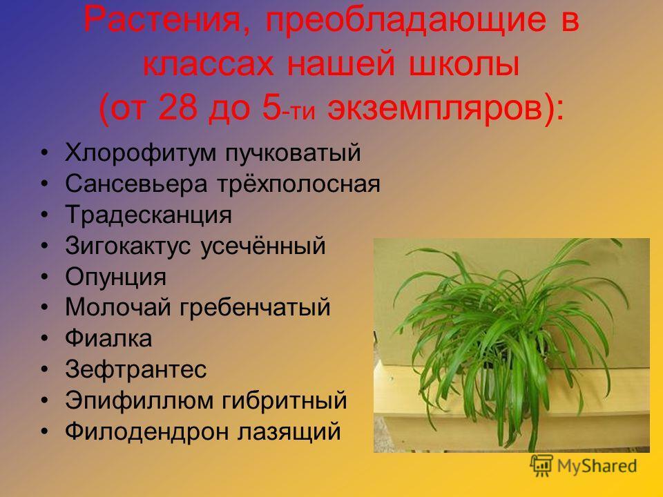 Растения, преобладающие в классах нашей школы (от 28 до 5 -ти экземпляров): Хлорофитум пучковатый Сансевьера трёхполосная Традесканция Зигокактус усечённый Опунция Молочай гребенчатый Фиалка Зефтрантес Эпифиллюм гибритный Филодендрон лазящий