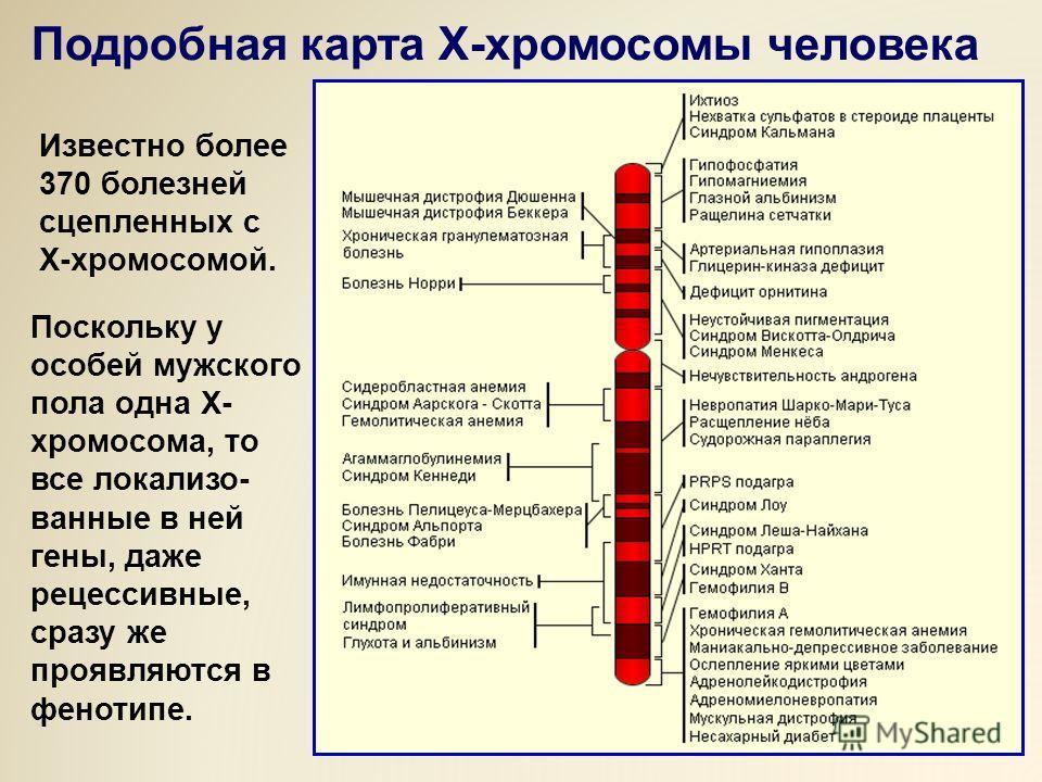 Известно более 370 болезней сцепленных с Х-хромосомой. Поскольку у особей мужского пола одна Х- хромосома, то все локализо- ванные в ней гены, даже рецессивные, сразу же проявляются в фенотипе. Подробная карта Х-хромосомы человека