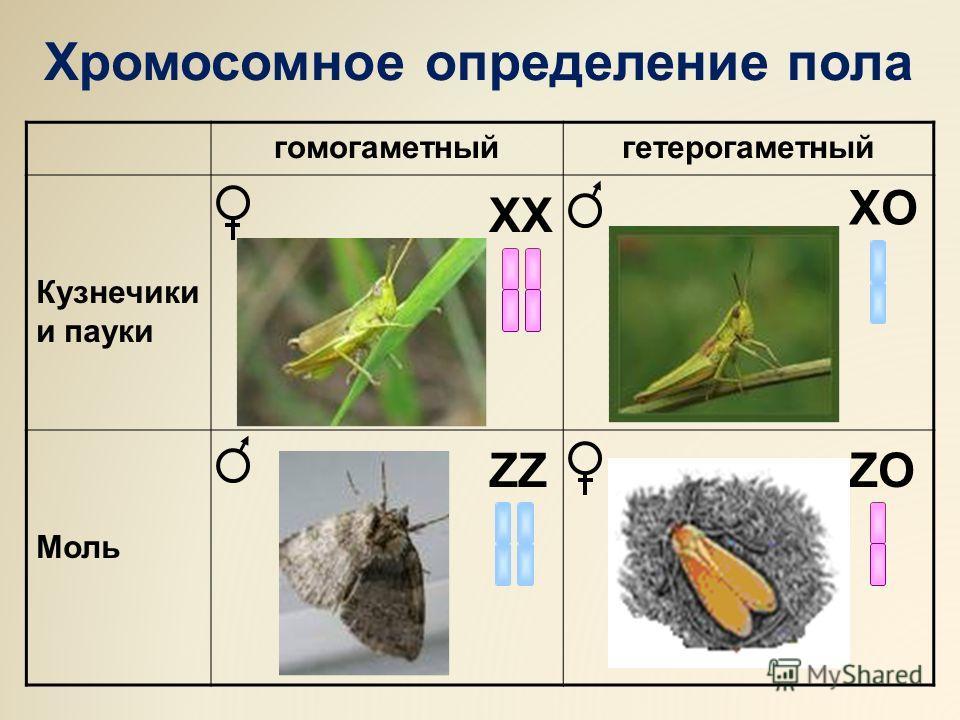 гомогаметныйгетерогаметный Кузнечики и пауки Моль ХХ ZZ ХOХO ZO Хромосомное определение пола