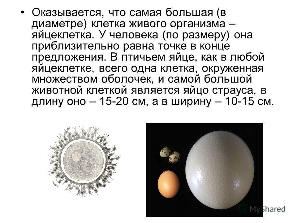 Оказывается, что самая большая (в диаметре) клетка живого организма – яйцеклетка. У человека (по размеру) она приблизительно равна точке в конце предложения. В птичьем яйце, как в любой яйцеклетке, всего одна клетка, окруженная множеством оболочек, и