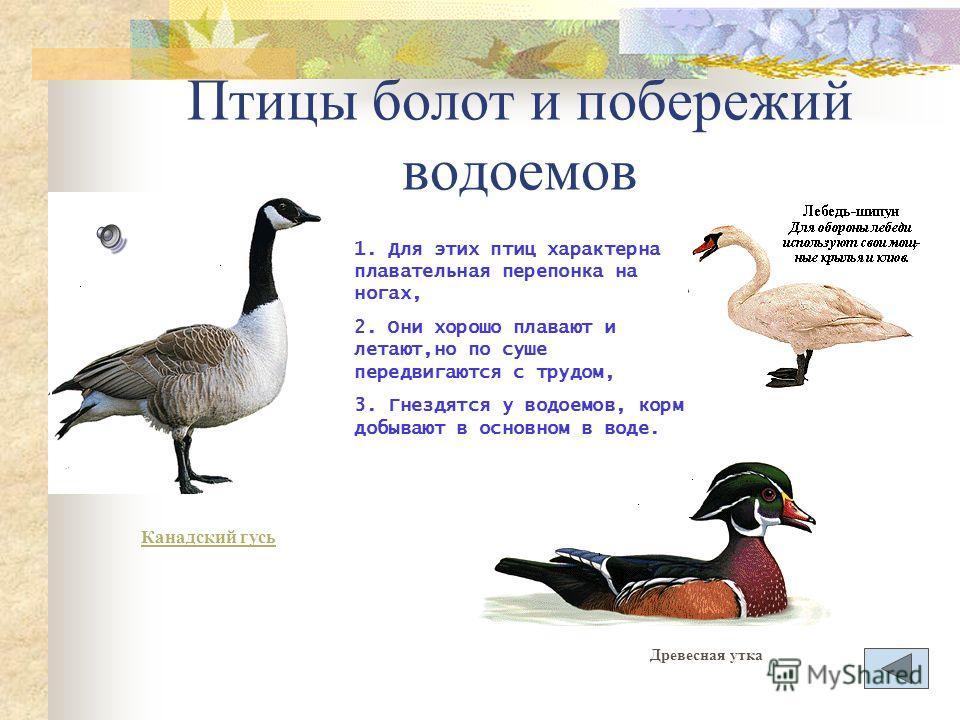 Птицы леса 1.Птицы, добывающие корм и гнездящиеся на деревьях. 2.Птицы, гнездящиеся на деревьях, а корм добывающие в воздухе. 3.Птицы, гнездящиеся на земле, а корм добывающие на земле и деревьях.