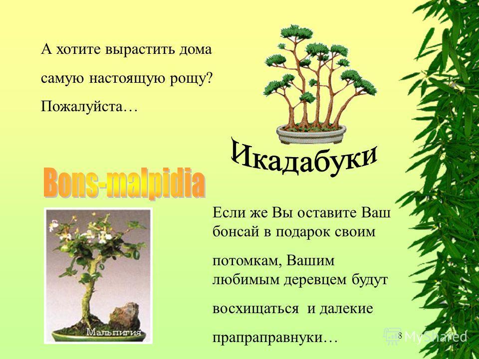 8 А хотите вырастить дома самую настоящую рощу? Пожалуйста… Если же Вы оставите Ваш бонсай в подарок своим потомкам, Вашим любимым деревцем будут восхищаться и далекие прапраправнуки…