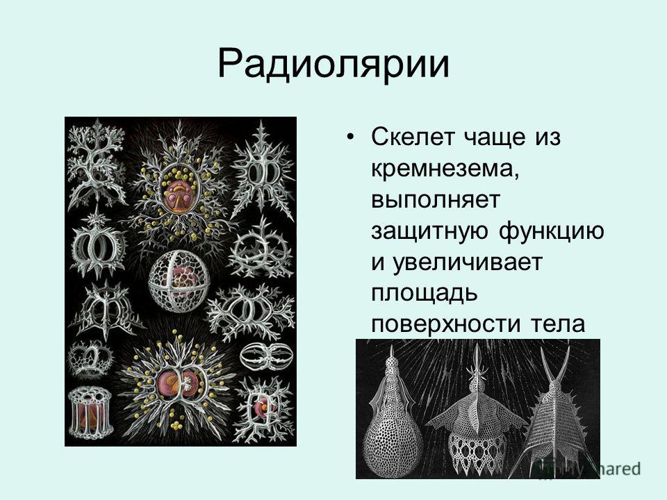 Радиолярии Скелет чаще из кремнезема, выполняет защитную функцию и увеличивает площадь поверхности тела