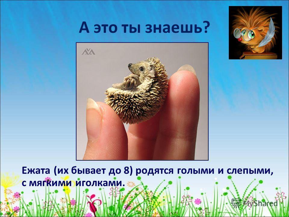 А это ты знаешь? Ежата (их бывает до 8) родятся голыми и слепыми, с мягкими иголками.