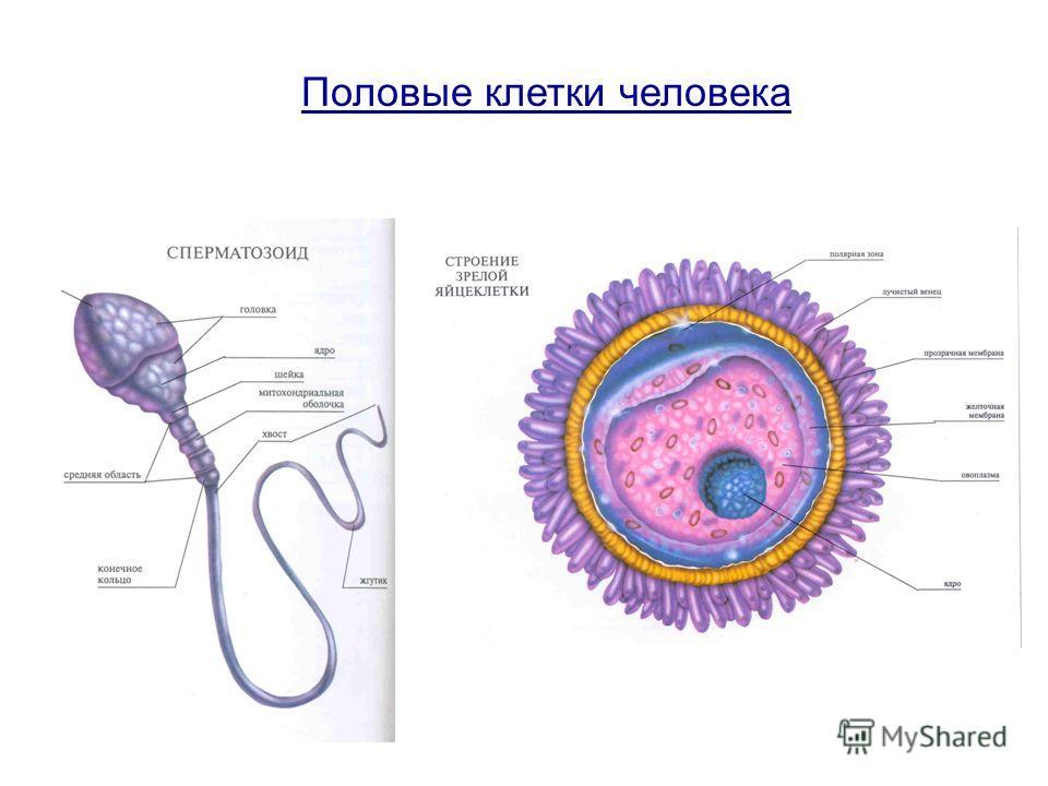 Половые клетки человека