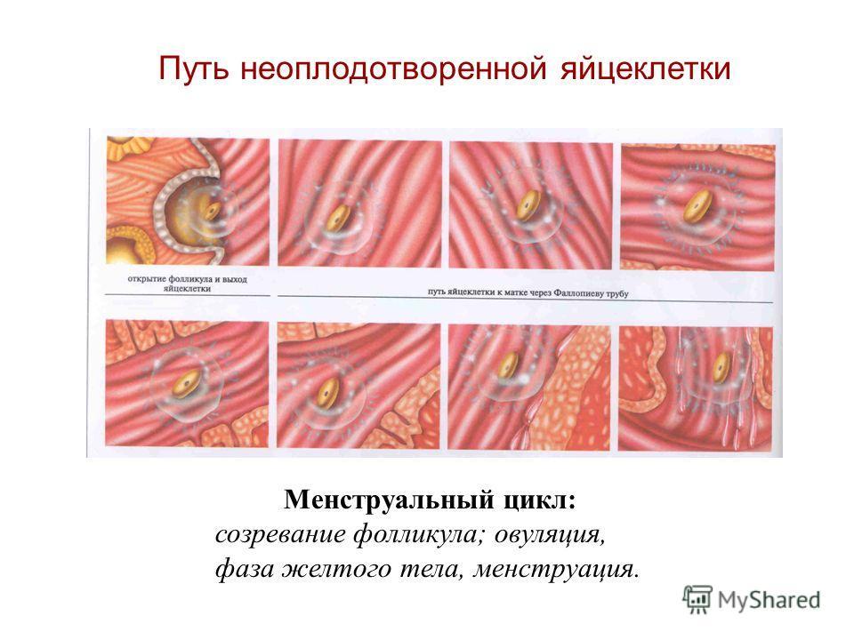 Путь неоплодотворенной яйцеклетки Менструальный цикл: созревание фолликула; овуляция, фаза желтого тела, менструация.