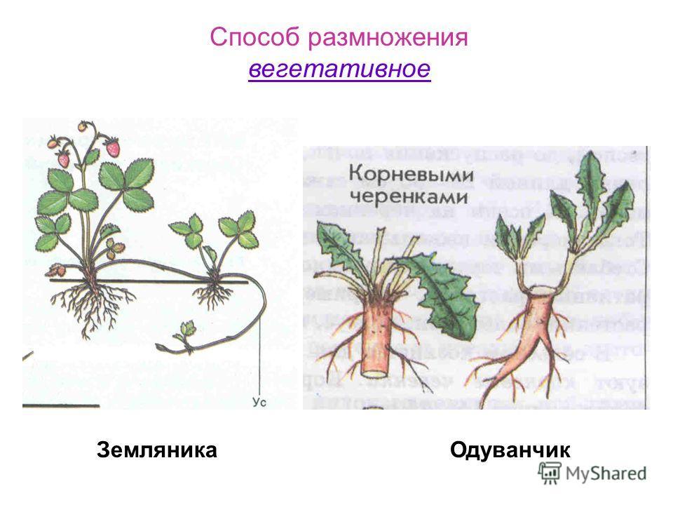 Способ размножения вегетативное ЗемляникаОдуванчик