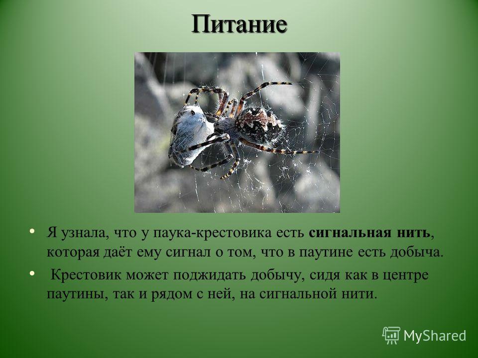 Питание Я узнала, что у паука-крестовика есть сигнальная нить, которая даёт ему сигнал о том, что в паутине есть добыча. Крестовик может поджидать добычу, сидя как в центре паутины, так и рядом с ней, на сигнальной нити.