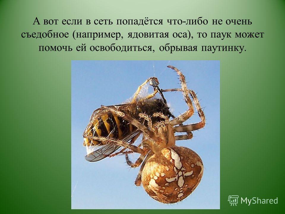 А вот если в сеть попадётся что-либо не очень съедобное (например, ядовитая оса), то паук может помочь ей освободиться, обрывая паутинку.