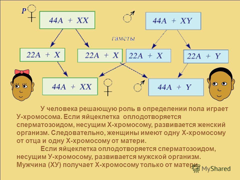 У человека решающую роль в определении пола играет У-хромосома. Если яйцеклетка оплодотворяется сперматозоидом, несущим Х-хромосому, развивается женский организм. Следовательно, женщины имеют одну Х-хромосому от отца и одну Х-хромосому от матери. Есл