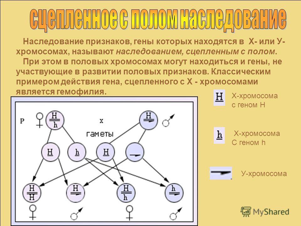 Наследование признаков, гены которых находятся в Х- или У- хромосомах, называют наследованием, сцепленным с полом. При этом в половых хромосомах могут находиться и гены, не участвующие в развитии половых признаков. Классическим примером действия гена