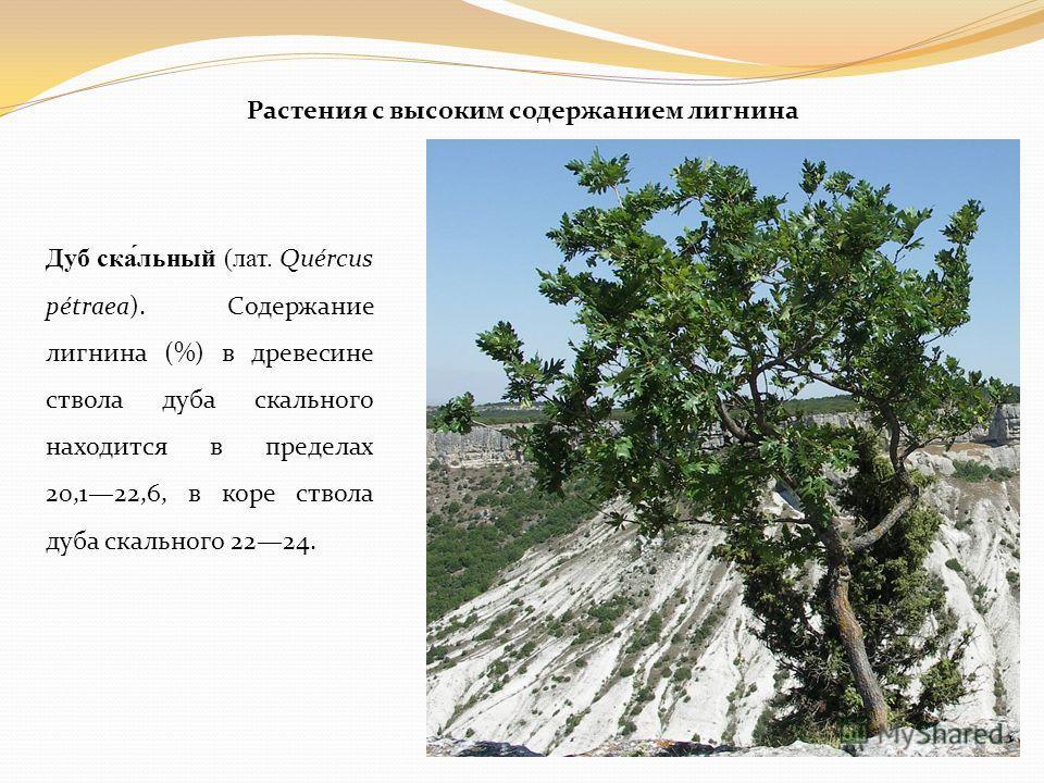 Растения с высоким содержанием лигнина Дуб ска́льный (лат. Quércus pétraea). Содержание лигнина (%) в древесине ствола дуба скального находится в пределах 20,122,6, в коре ствола дуба скального 2224.