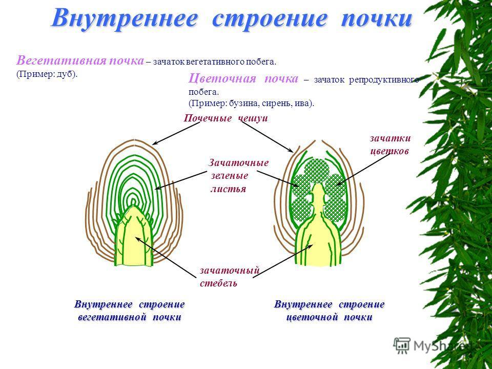 Вегетативная почка – зачаток вегетативного побега. (Пример: дуб). Внутреннее строение вегетативной почки Цветочная почка – зачаток репродуктивного побега. (Пример: бузина, сирень, ива). Внутреннее строение цветочной почки зачаточный стебель Внутренне