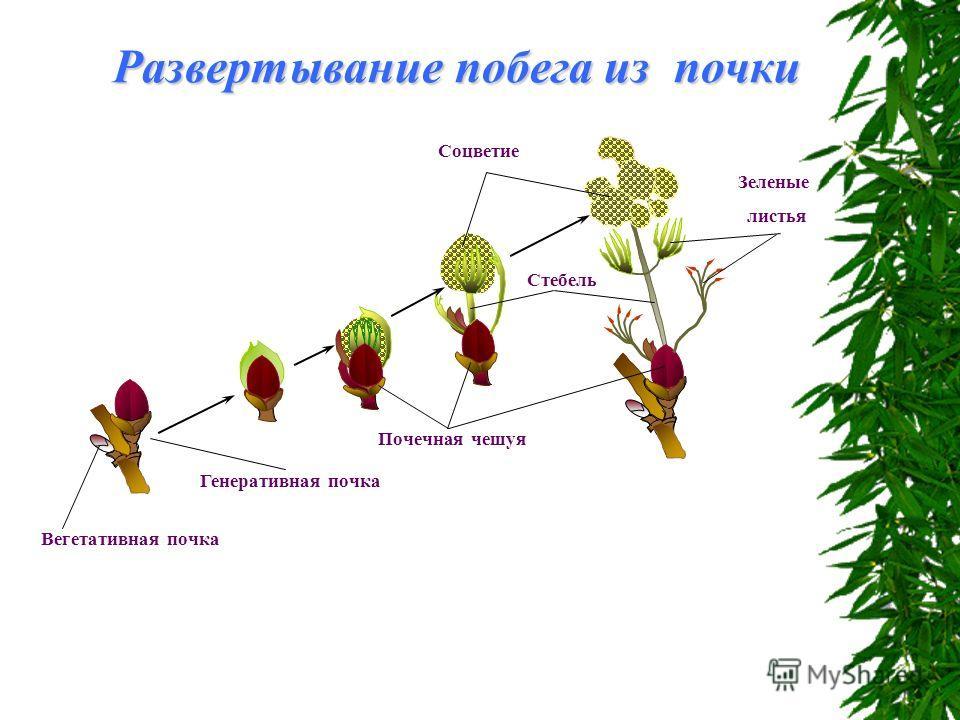 Развертывание побега из почки Зеленые листья Стебель Соцветие Почечная чешуя Генеративная почка Вегетативная почка