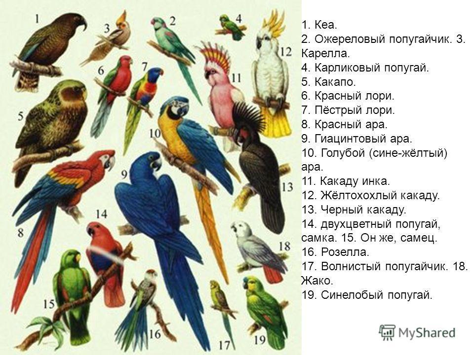 1. Кеа. 2. Ожереловый попугайчик. 3. Карелла. 4. Карликовый попугай. 5. Какапо. 6. Красный лори. 7. Пёстрый лори. 8. Красный ара. 9. Гиацинтовый ара. 10. Голубой (сине-жёлтый) ара. 11. Какаду инка. 12. Жёлтохохлый какаду. 13. Черный какаду. 14. двухц